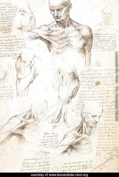 Anatomical studies of a male shoulder