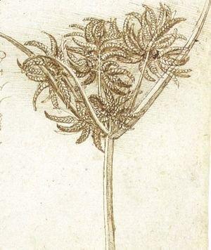 Leonardo Da Vinci - sedge