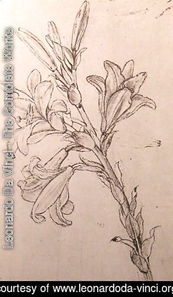 Drawing of lilies, for an Annunciation