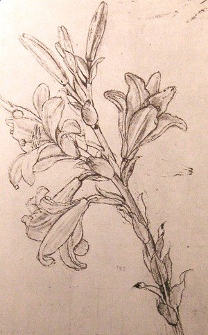 Leonardo Da Vinci - Drawing of lilies, for an Annunciation