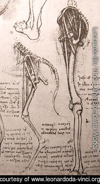 Leonardo Da Vinci - Drawing of the comparative anatomy of the legs of a man and a dog